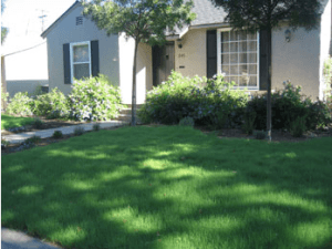 Native Texas Seeds | Buffalo Grass | Reed Hydromulching Inc
