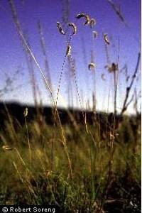 Texas Blue Grama Grass Seed